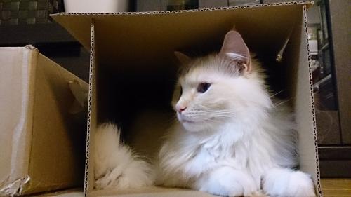 白玉猫74