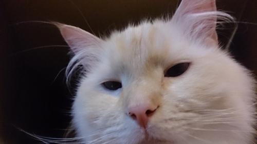 白玉猫75