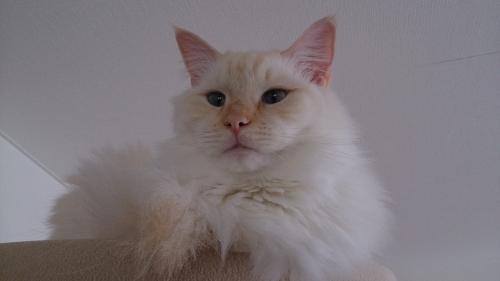 白玉猫41