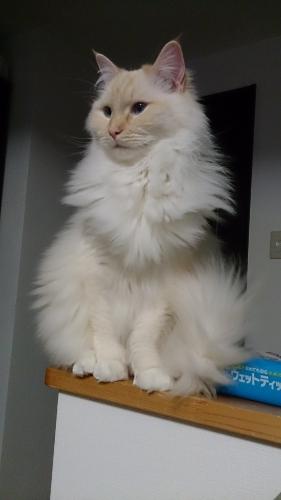 白玉猫29