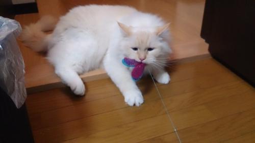 白玉猫20