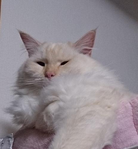 胸毛モサモサ_白玉猫