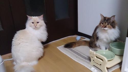 白玉猫28