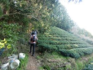 秘密の茶畑