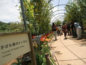 黄花藤 隧道