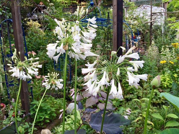 7,21アガバンサス白花