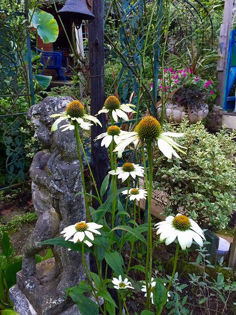 7,25白花エキナセア