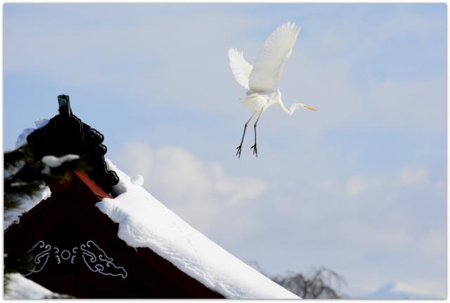 青森県 平川市 猿賀公園 猿賀神社 野鳥 鳥 白鷺 ダイサギ 写真