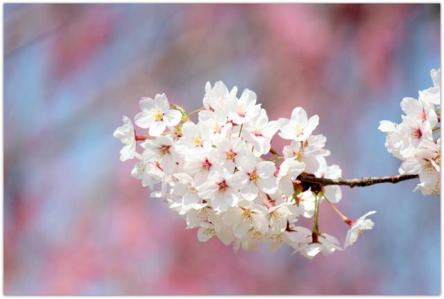 青森県 観光 五所川原市 菊ケ丘運動公園 桜 さくら サクラ