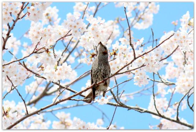 青森県 観光 五所川原市 菊ケ丘運動公園 桜 さくら サクラ 野鳥 鳥の写真 ヒヨドリ