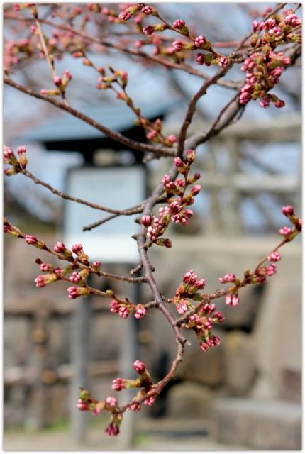 青森県 弘前市 弘前公園 弘前城 弘前さくらまつり 開花 状況 園内の様子 観光 桜 さくら サクラ