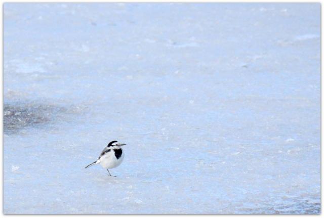 青森県 平川市 猿賀神社 猿賀公園 野鳥 写真 鳥 ハクセキレイ