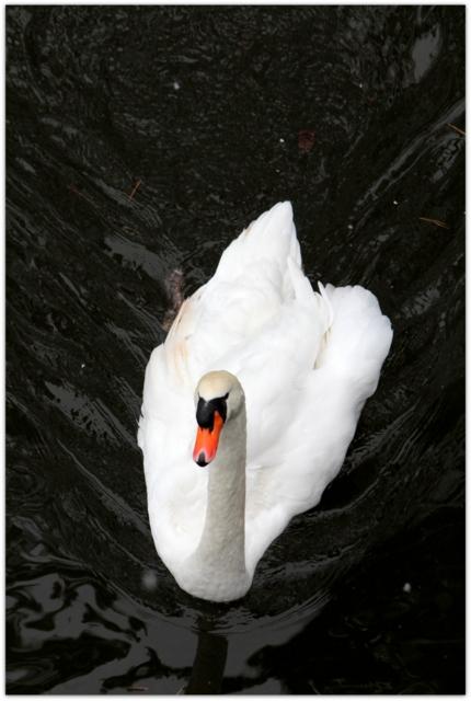 青森県 弘前市 弘前公園 弘前城 鳥 白鳥 写真