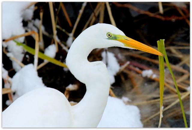 青森県 弘前市 弘前公園 弘前城 鳥 白鷺 ダイサギ 写真 野鳥