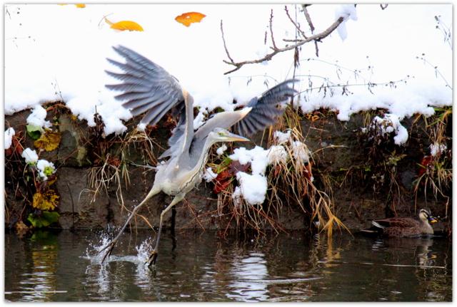 青森県 弘前市 弘前公園 弘前城 鳥 アオサギ 写真 野鳥