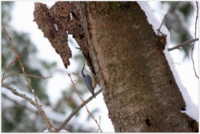 弘前公園 野鳥 鳥 写真 ハクセキレイ 青森県