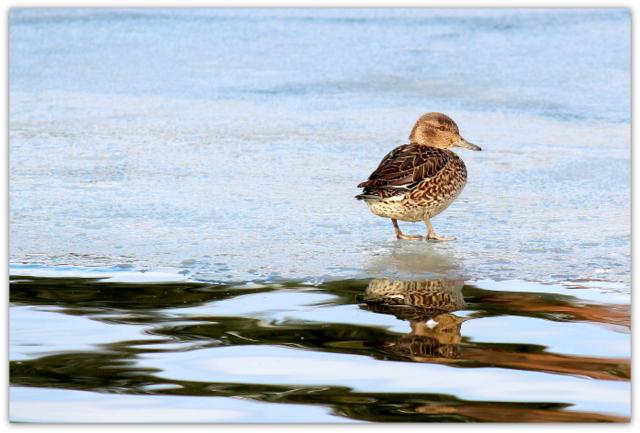 野鳥 鳥 写真 コガモ 青森県 平川市