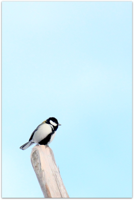 青森県 弘前市 弘前公園 弘前城 野鳥 鳥 写真 シジュウカラ