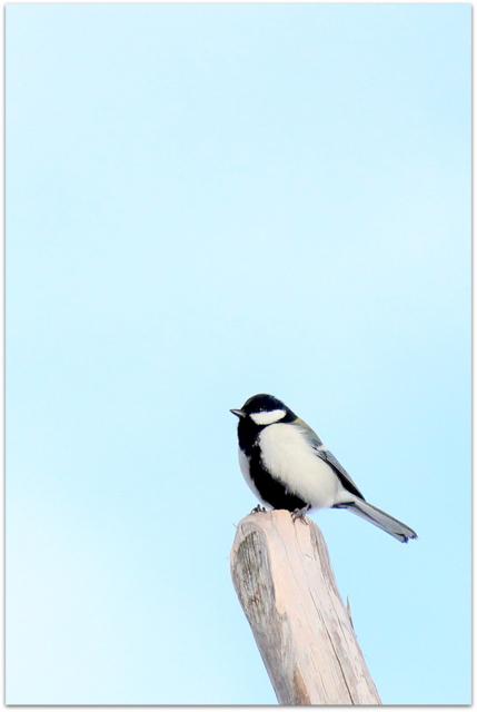 弘前城 青森県 弘前市 弘前公園 野鳥 写真 鳥 写真 シジュウカラ