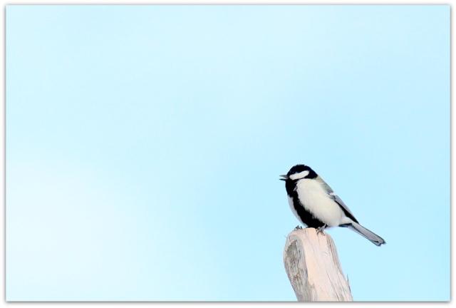 弘前城 弘前公園 青森県 野鳥 鳥 シジュウカラ 写真