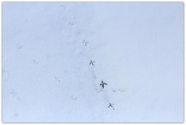 青森県 弘前市 弘前公園 弘前城 野鳥 白鷺 ダイサギ 写真 鳥