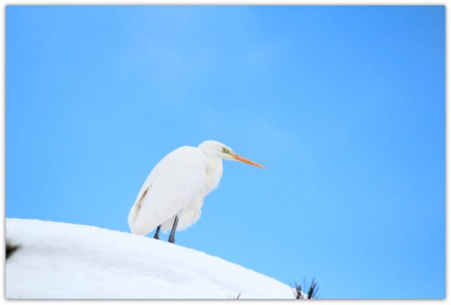 ダイサギ 白鷺 野鳥 写真 鳥 弘前公園 弘前城 弘前市 青森県