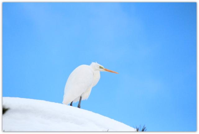 弘前公園 ダイサギ 青森県 野鳥 写真 白鷺 弘前市 弘前城
