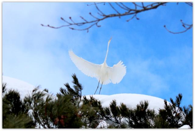 弘前公園 野鳥 青森県 鳥 写真 弘前市 弘前城 ダイサギ 白鷺