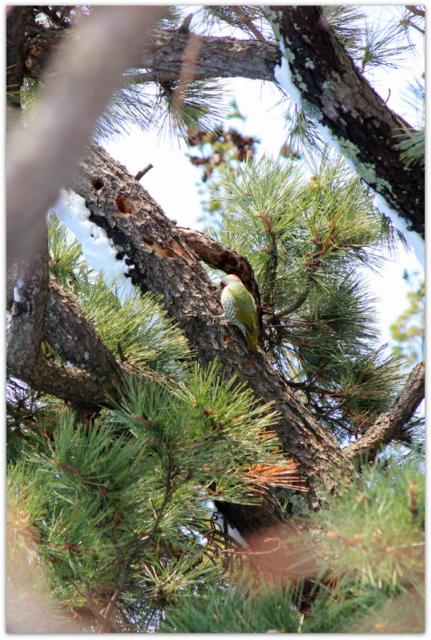 青森県 弘前市 弘前公園 弘前城 野鳥 鳥 写真 アオゲラ