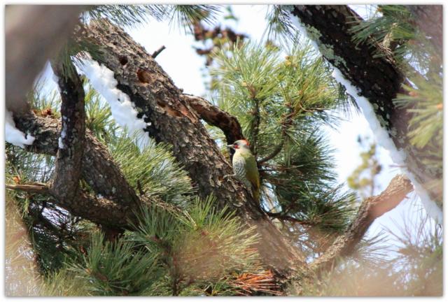 アオゲラ 野鳥 弘前市 青森県 鳥 写真 弘前公園 弘前城