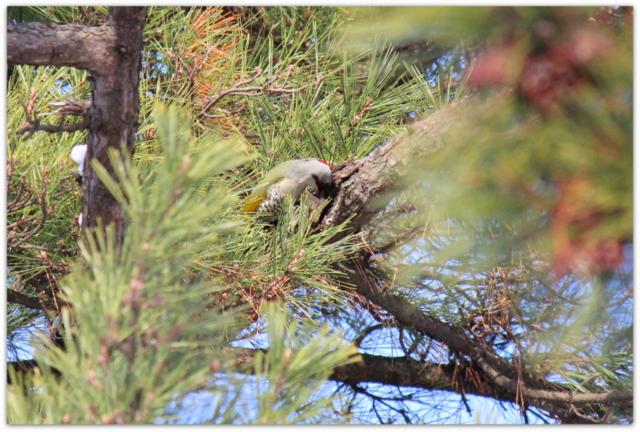 アオゲラ 野鳥 写真 青森県 弘前城 弘前市 弘前公園 アオゲラ 写真