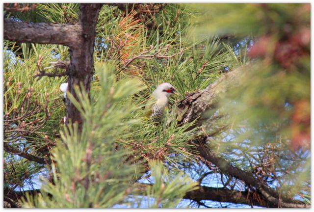 青森県 弘前市 弘前城 弘前公園 野鳥 鳥 写真 アオゲラ