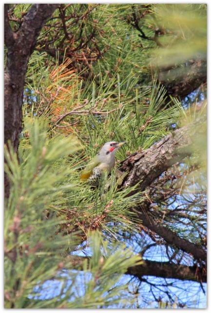 アオゲラ 野鳥 写真 鳥 弘前市 弘前公園 青森県 弘前市