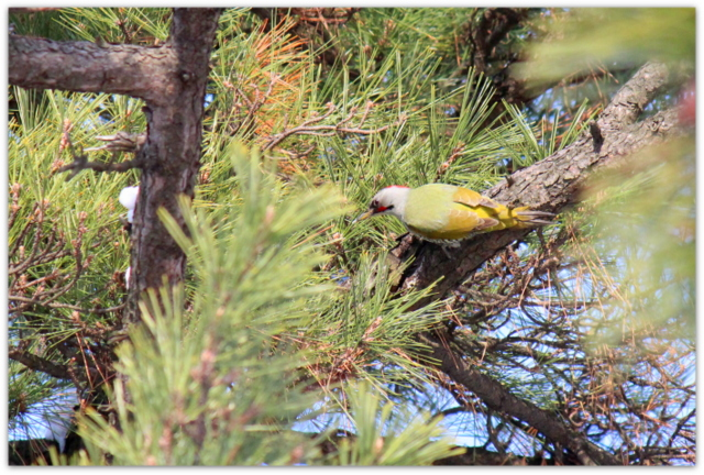 弘前市 弘前公園 弘前城 野鳥 鳥 写真 アオゲラ