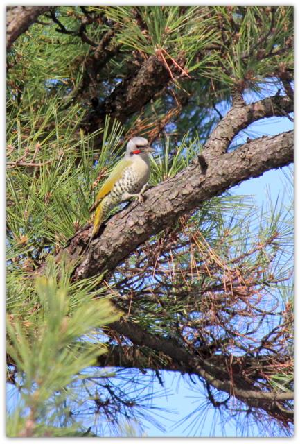 弘前公園 青森県 弘前市 弘前城 青森県 野鳥 鳥 写真