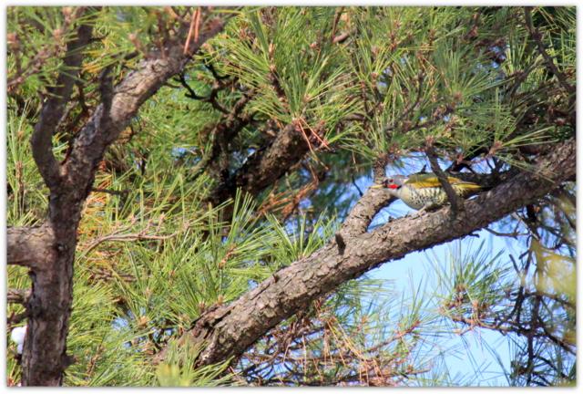 アオゲラ 野鳥 鳥 写真 青森県 弘前市 弘前公園 弘前城