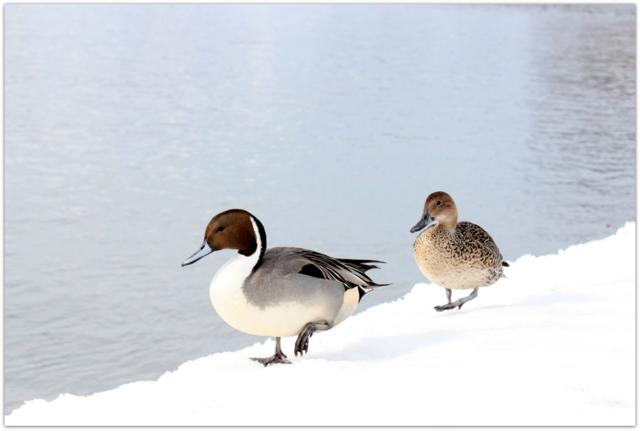 青森県 藤崎町 平川 野鳥 鳥 写真 オナガガモ
