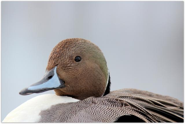 青森県 藤崎町 平川 野鳥 鳥 写真 オナガガモ 雄