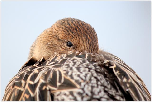 青森県 藤崎町 平川 野鳥 写真 鳥 オナガガモ 雌