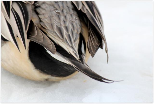 青森県 藤崎町 平川 野鳥 水鳥 鳥 写真 オナガガモ オス