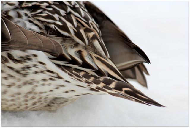 青森県 藤崎町 平川 野鳥 水鳥 鳥 写真 オナガガモ メス