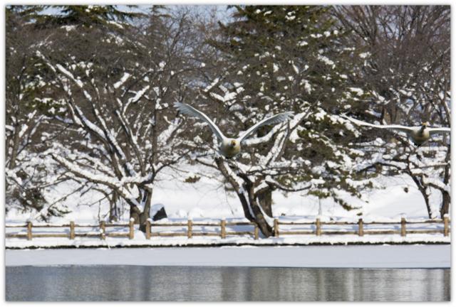 青森県 平川市 猿賀公園 野鳥 水鳥 鳥 渡り鳥 白鳥 ハクチョウ オオハクチョウ 写真