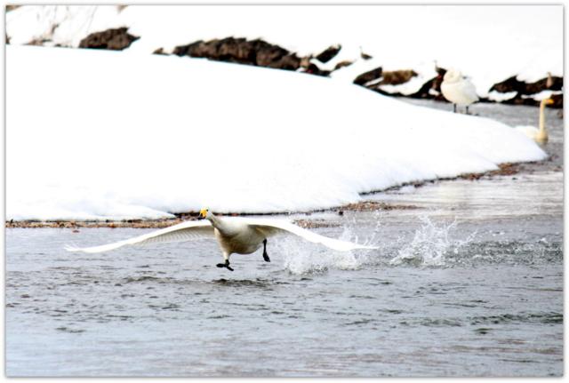 青森県 藤崎町 平川 白鳥 野鳥 渡り鳥 水鳥 ハクチョウ オオハクチョウ 写真