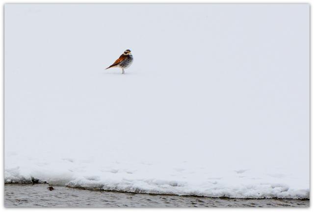 青森県 藤崎町 平川 野鳥 鳥 写真 つぐみ
