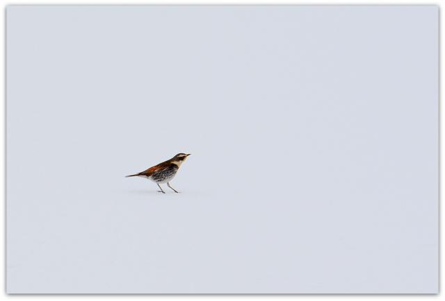 つぐみ 野鳥 鳥 写真 青森県 藤崎町 平川