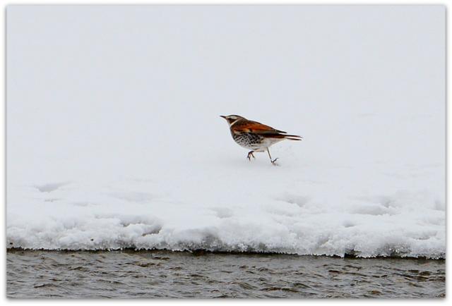 青森県 藤崎町 平川 野鳥 鳥 つぐみ 写真