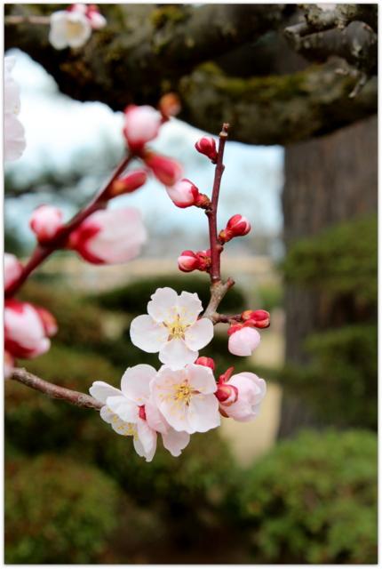 青森県 弘前市 観光 藤田記念庭園