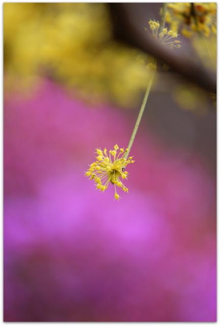 青森県 弘前市 弘前公園 花の写真 サンシュユ 弘前城