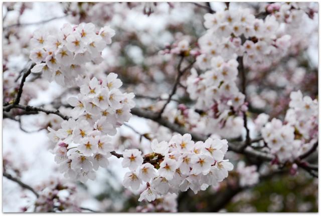 青森県 弘前市 弘前城 弘前公園 弘前さくらまつり 観光 桜 開花情報