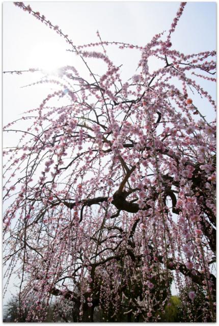 青森県 弘前市 観光 弘前公園 弘前城 弘前さくらまつり